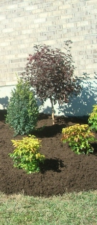 A flower bed containing small shrubs and a small tree with freshly installed mulch.