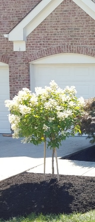 A small trimmed tree with white blooms in a neat flower bed.